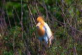 Cattle egret, Bubulcus ibis, perch on branches