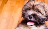Tibetan Lhasa Apso Small Canine Dog Breed Furry Animal Creature