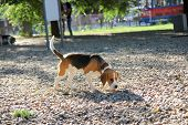 Beagle Puppy Dog Siffing In Sunny Park