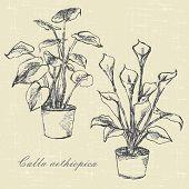 Flowers Calla Lilies