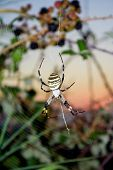 Big yellow argiope spider in web