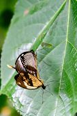 Swallowtail Butterflies In Nature