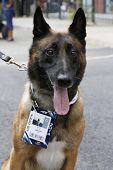 Belgian Shepherd K-9  Wyatt  providing security at National Tennis Center during US Open 2014