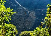Golden orb weaver spider on its web in Nepal