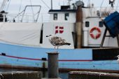 Seagull And Fishing Boat