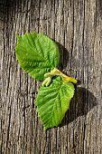 Two Fresh Green Leaf From A Tree Hazelnut