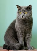stock photo of portrait british shorthair cat  - pet - British shorthair gray cat with orange eyes