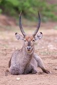 Waterbuck Bull With Huge Horns Resting On Ground Of A Dry River Bed