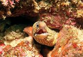 Jeweled Moray