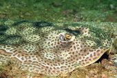 stock photo of stingray  - Close - JPG
