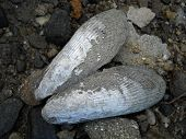 Clam or mussel shell