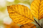 Bright Golden Beech Tree Leaf In Autumn Sunshine