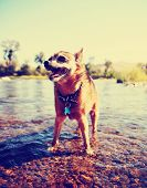 a cute chihuahua enjoying the river outdoors on a summer day toned with a retro vintage instagram fi