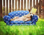 a cute chihuahua with a crown on napping on a couch outside in the grass