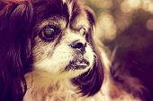 a cute shih tzu enjoying the outdoors on a summer day toned with a retro vintage instagram filter ef