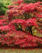 Beautiful Japanese Maple Acer Tree In Full Autumn Color