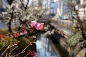 Постер, плакат: Japanese plum blossom