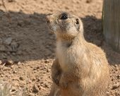 Prairie Dog Resting With Dirt On Nose