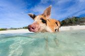 Swimming piglet in a water at beach on Exuma island Bahamas