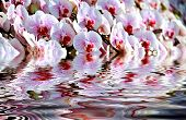 Pink Orchid With Refection On Water Wave