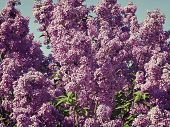 Lilac Bush  Against The Blue Sky