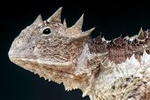 stock photo of ant-eater  - The Giant horned lizard is a heavily armored ant eating lizard species found in Southern Mexico and Guatemala - JPG