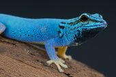 stock photo of gekko  - The Electric blue day gecko is endemic to Kimboza forest, Tanzania. These beautiful animals are threatened with extinction.