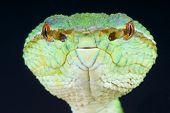 Temple pit viper portrait / Tropidolaemus wagleri