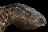 Black-throated monitor / Varanus albigularis