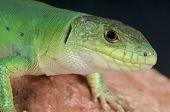 Moroccan eyed lizard / Timon tangitanus