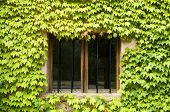 Window surrounded by ivy plants