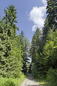 Way through green forest and high  pine-tree
