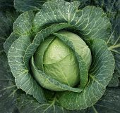 Cabbage growing. Top view