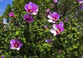Shrub With Pink Flowers Of Syrian Hibiscus (syrian Rose)