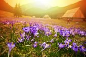 Spring Meadow In Mountains Full Of Crocus Flowers In Bloom At Sunrise