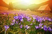 Spring Meadow In Mountains Full Of Crocus Flowers In Bloom At Sunrise