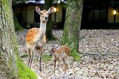 foto of deer family  - A female deer and her young at Nara deer park, Japan