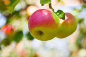 Apple grows on tree