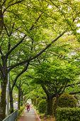 KYOTO, JAPAN - APRIL 20th : Green leaves of cherry trees trail in Kyoto, Japan on 20th April 2014.
