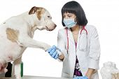 Female veterinarian holding dog's paw over gray background