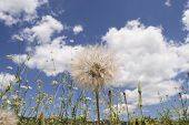 Summer Landscape With Chamomile And Dandelion Flowers