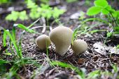 Edible Mushrooms With Excellent Taste, Boletus Edulis
