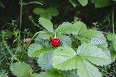Wild Strawberry Forest