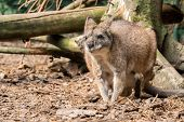 Small Red Necked Wallaby