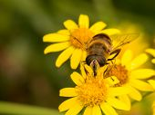 Wasp Sits On Three Yellow Flower
