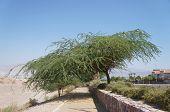 Acacia line