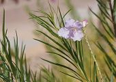stock photo of xeriscape  - Beautiful bloom of Desert willow  - JPG