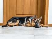 Five month German Shepherd puppy lying down by the doors