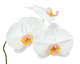 foto of six-petaled  - Six day old white orchid isolated on white background - JPG