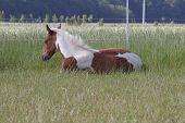 Foal lying in pasture